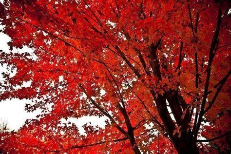 aceri da giardino acero rosso acer buergerianum piante da giardino