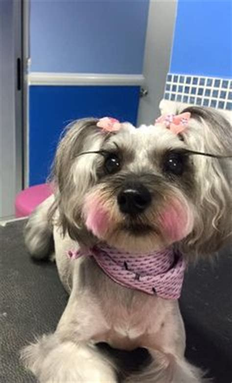asian style schaunzer hair trim the long long hair and yorkie on pinterest