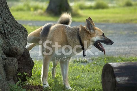 dogs urinating in house dog urinating stock photos freeimages com