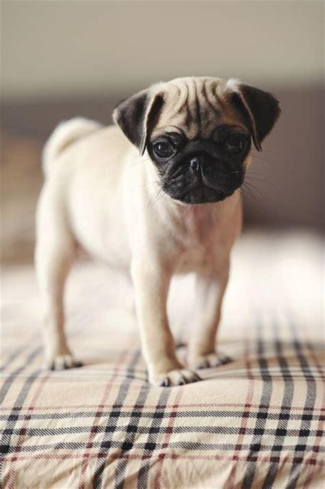 do pugs stay small 15 best small indoor dogs herinterest
