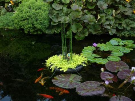 backyard pond plants koi fish care info