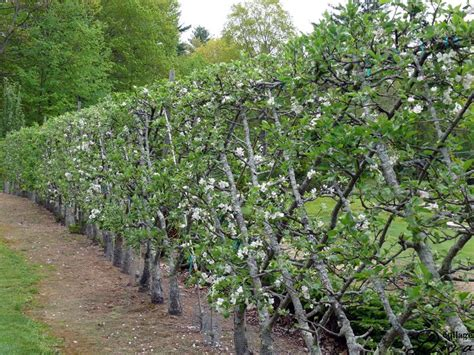 belgian fence an espalier style for fruiting trees 11