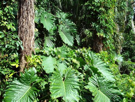 fit botanical gardens philodendrons at fit botanical garden photograph by gilley