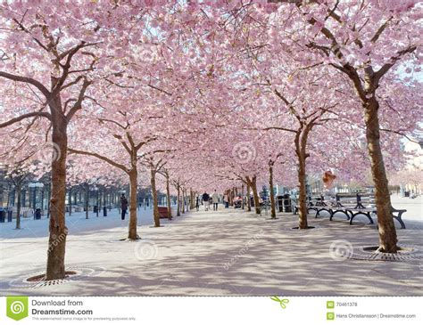 cherry tree 4th ave park with beautiful blooming cherry trees and editorial stock photo image 70461378