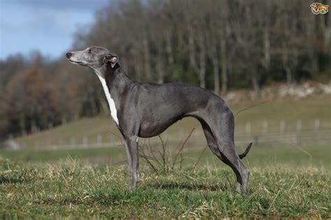 Whippet Shedding by Whippet Breed Information Buying Advice Photos And