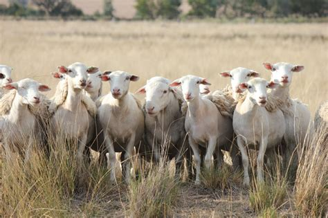 austrailian sheep australian dorper sheep cluny livestock exports pty ltd