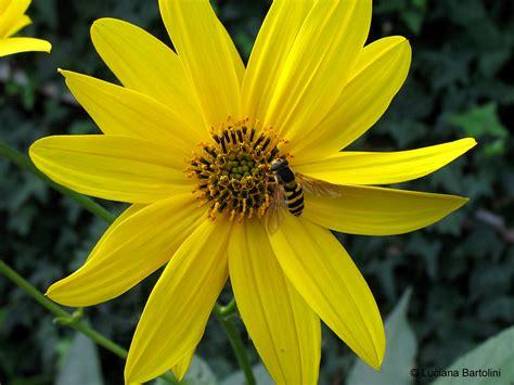 fiori con la e fiori famiglie che iniziano con la lettera a b c d