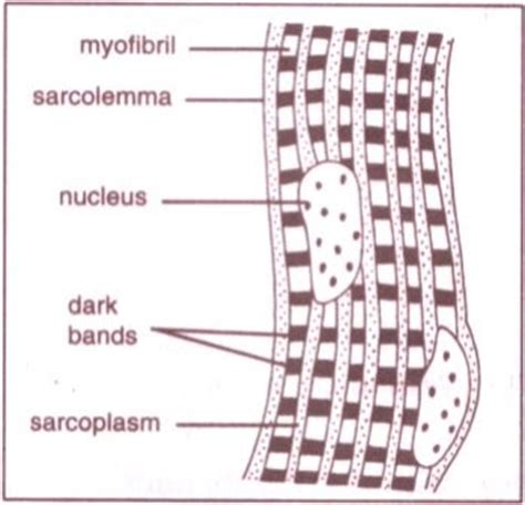 striated cell diagram tissues cbse board class 9 biology ncert science