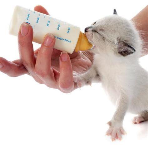 gattini alimentazione alimentazione dei gattini appena nati guida completa