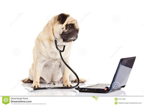 pug laptop pug isolated on white background doctor with computer stock photo image 51211426