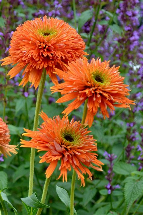 colorful flowers picture orange flowers in bloom light echinacea colourburst orange gp plants