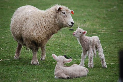 new year sheep wallpaper new zealand sheep and baby lambs golden glow