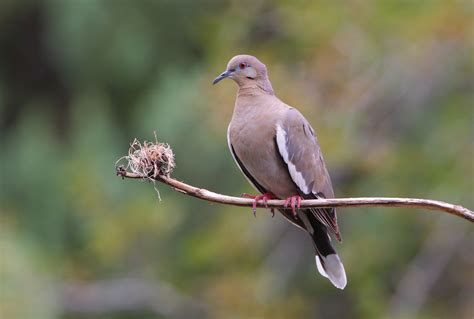 wat doesa brid dove look like your doves parks wildlife department