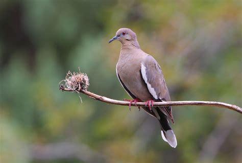 Sho Dove your doves parks wildlife department