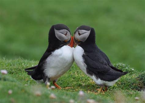 puffin bird making love cute animals pinterest the