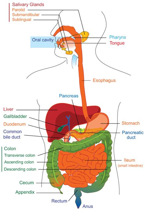 intestinal diagram overview of the digestive system boundless anatomy and