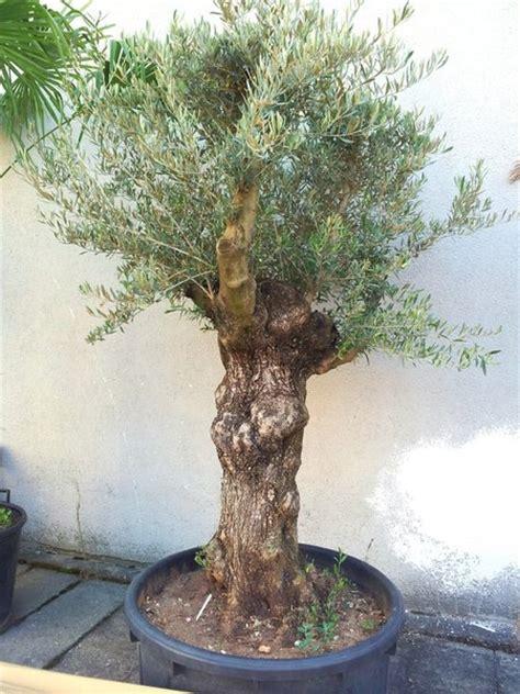 olivenbaum schneiden wann olivenbaum winterhart olivenbaum winterhart olivenbaum