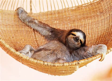 Sloth In Hammock 15 times sloths were basically college students