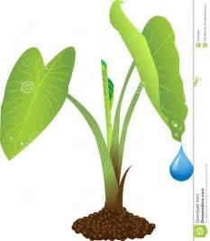 Giant Tropical Plants - taro plant royalty free stock photo image 10766205