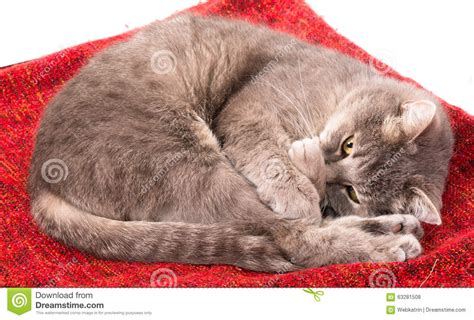 Curled Up On The by The Gray Cat Curled Up And Closed A Nose A Paw Stock Photo