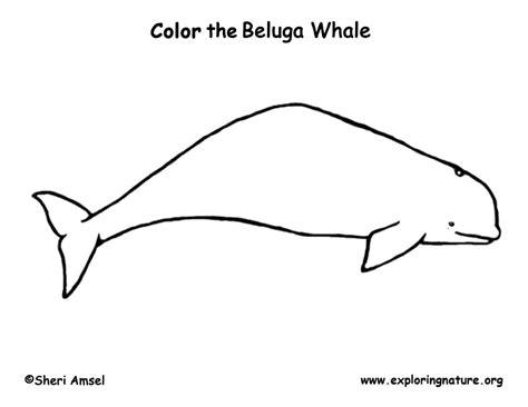 coloring page baby beluga whale beluga coloring page