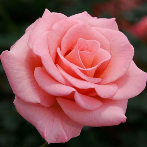 google wallpaper rose roses images hybrid tea google search gardening timing