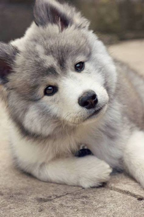 pictures of pomeranian huskies the pomeranian husky information pictures breeders