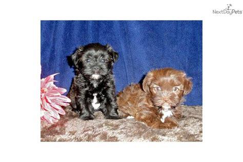 shih tzu and yorkie poo mix shorkie shih tzu yorkie mix adorable yorkiepoo yorkie poo puppy for sale