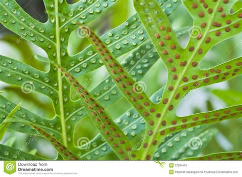 Tropical Plant Biology - fern leaf and spore royalty free stock photo image 32394515