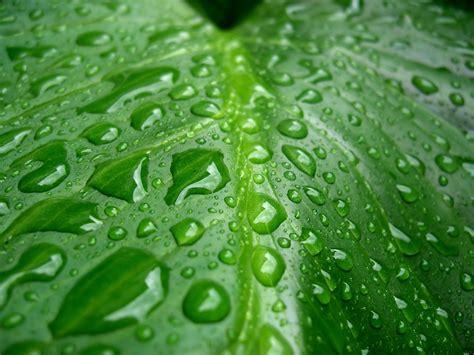 imagenes verdes gratis banco de im 193 genes gotas de roc 237 o sobre las hojas verdes