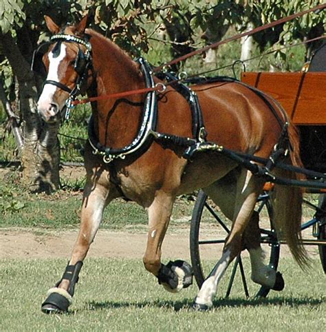 sleigh harness carriage driving harnesses