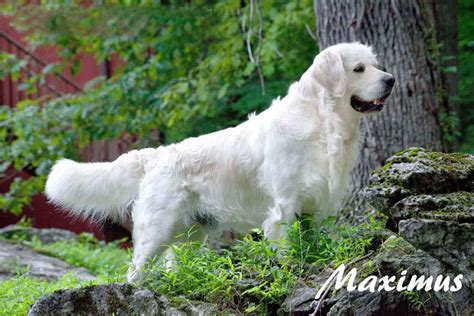 golden retriever breeders in ny white golden retriever puppies akc certified holistic breeder nj ny pa