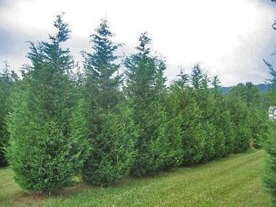is leyland cypress still the tree to plant i think not fast growing leyland cypress trees