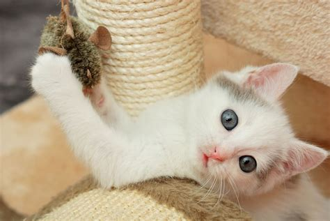 how to your to like cats how to play with your cat mnn nature network