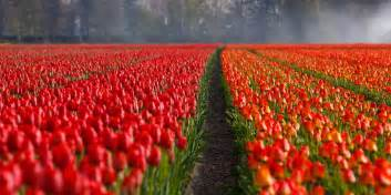 Flower In Holland - kostenloses foto tulpen tulpe feld felder orange