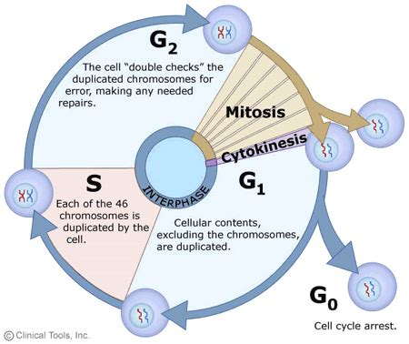 mitosis cycle diagram the cell cycle mitosis and meiosis of leicester