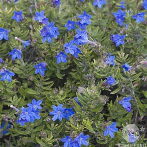 Fleurs Bleues Vivaces by Plante Bleue Vivace Fleurs Bleues Grimpantes Brasserie