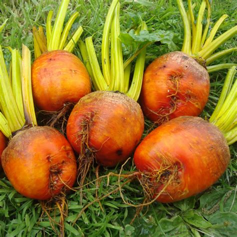 beet root vegetable beetroot
