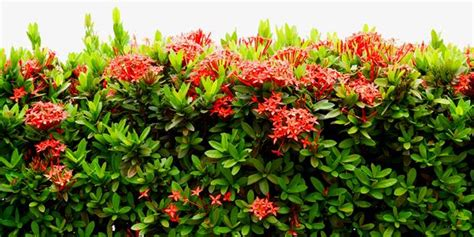manfaat  khasiat tanaman asoka  ciri cirinya