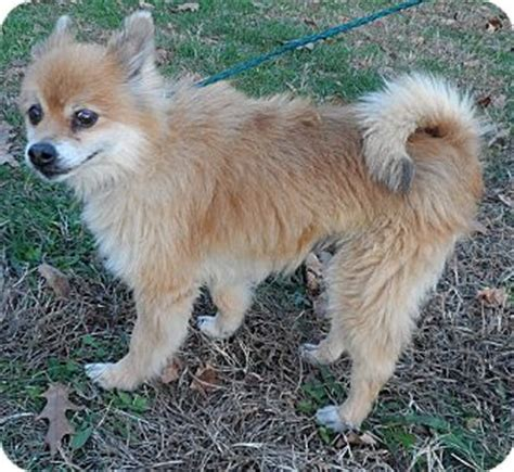 pomeranian puppies for adoption in illinois il pomeranian mix meet miller a for adoption