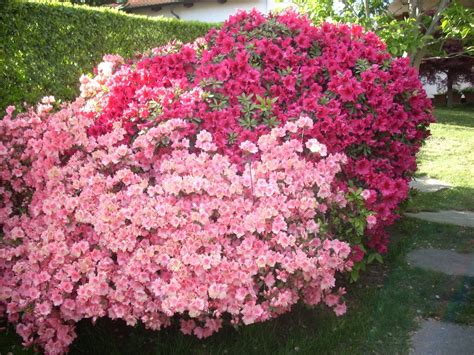 cespugli sempreverdi fioriti cure