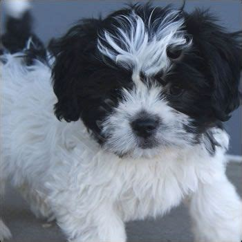 shi poo 17 best images about malti poo shi love on pinterest