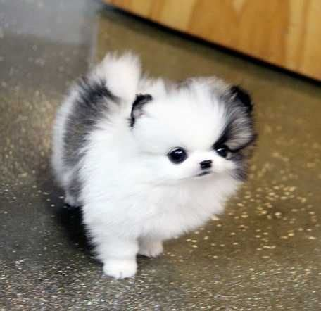 what is a teacup pomeranian 25 best teacup pomeranian ideas on