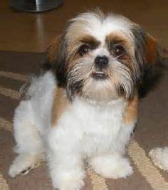 fun shih tzu haircuts poodle forum standard toy 1000 images about jixxers stuff on pinterest shih tzu
