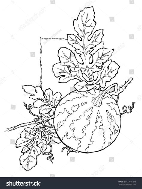 watermelon plant coloring page watermelon coloring page stock vector 477686248 shutterstock
