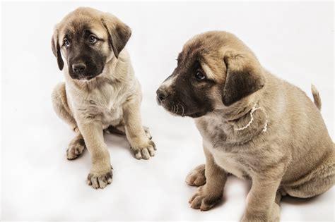 anatolian shepherd puppies sakarya s anatolian shepherd puppies anatolian puppies in part 2
