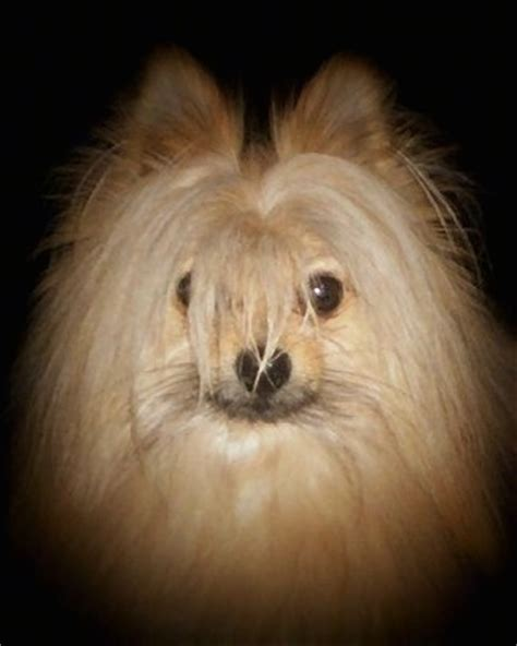 maltese pomeranian grown maltipom breed information and pictures