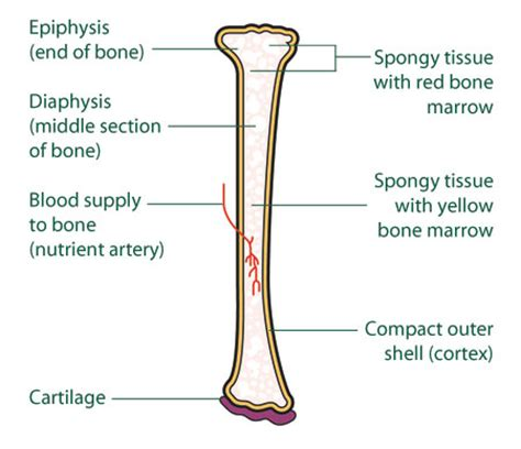 bone cross section diagram the bones and types of bone cancer cancer information