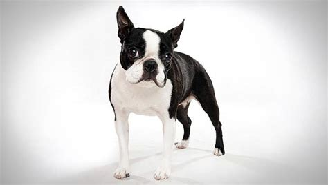 Boston Terrier Do They Shed by Breeds That Don T Shed Choose Your Preferred Breed