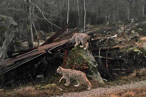 backyard wildlife camera camera traps catch a rare glimpse of wild lynx cubs in
